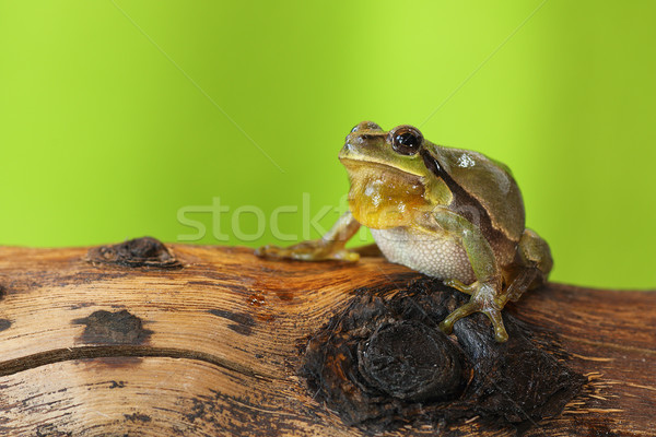 male tree frog singing Stock photo © taviphoto