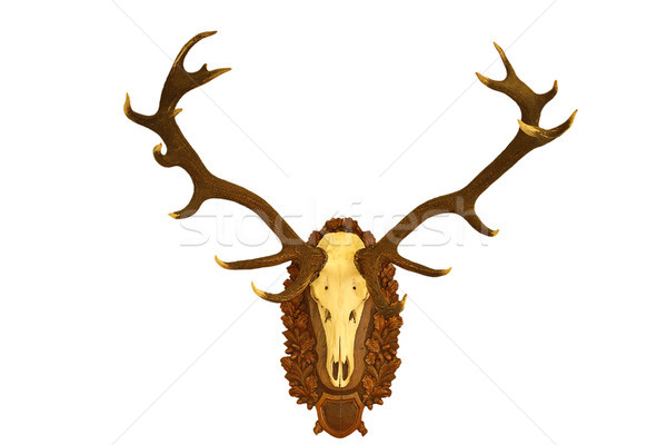 beautiful red deer hunting trophy over white 1 Stock photo © taviphoto