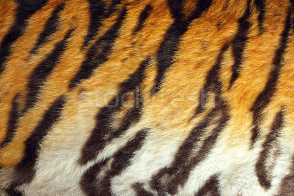 detailed tiger colorful pelt Stock photo © taviphoto