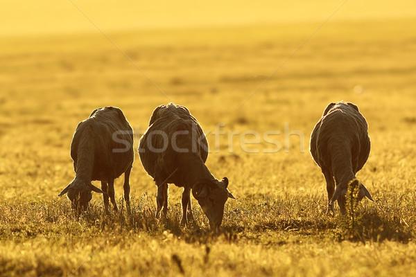 herd of sheep grazing at dawn Stock photo © taviphoto