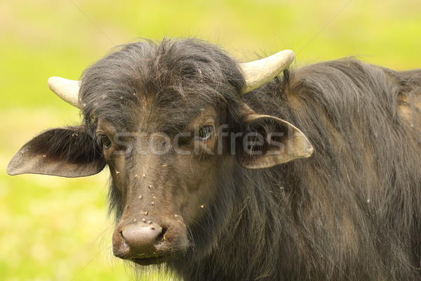 Stock photo: portrait of young black water buffalo