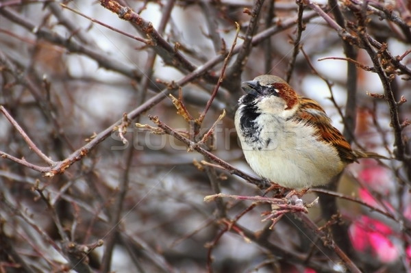 male sparrow singing Stock photo © taviphoto
