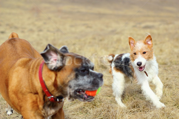 fox terrier playing with boxer Stock photo © taviphoto
