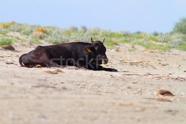 big bull standing on the beach Stock photo © taviphoto
