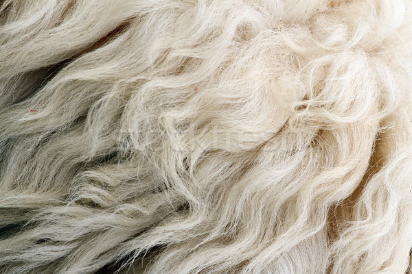 sheep white fur Stock photo © taviphoto