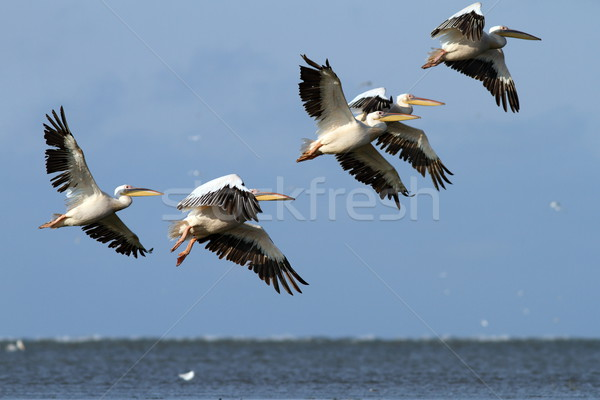 flock of pelicans flying over the sea Stock photo © taviphoto