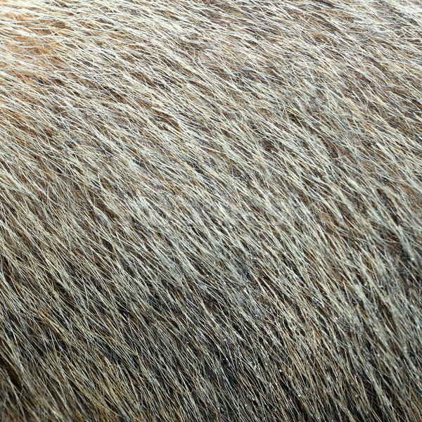 marmot textured fur Stock photo © taviphoto