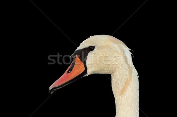 isolated mute swan portrait Stock photo © taviphoto