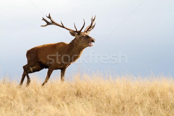 red deer running in autumn Stock photo © taviphoto
