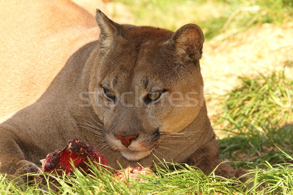 cougar eating meat Stock photo © taviphoto