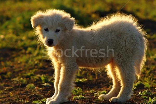 Sziluett román juhász kutya kutyakölyök gyönyörű Stock fotó © taviphoto