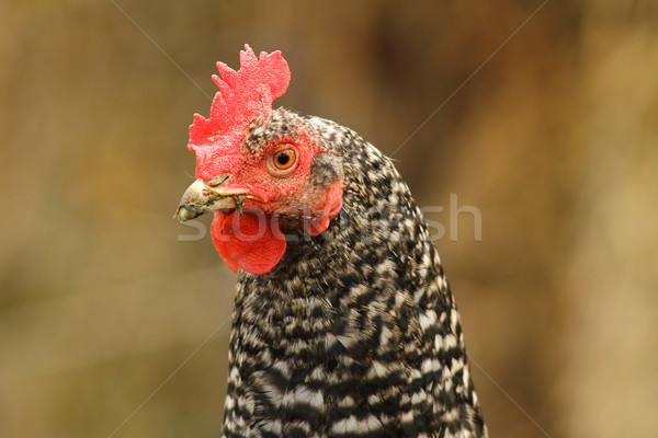 mottled hen portrait Stock photo © taviphoto