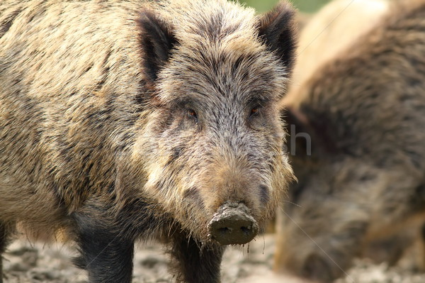 portrait of wild hog Stock photo © taviphoto