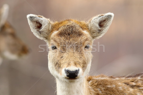portrait of cute fallow deer hind Stock photo © taviphoto