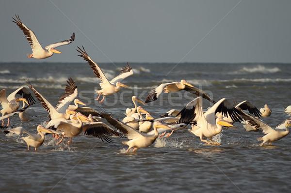 wild flock of great pelicans taking flight Stock photo © taviphoto