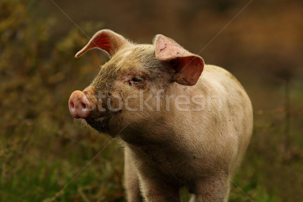 young pink pig portrait Stock photo © taviphoto