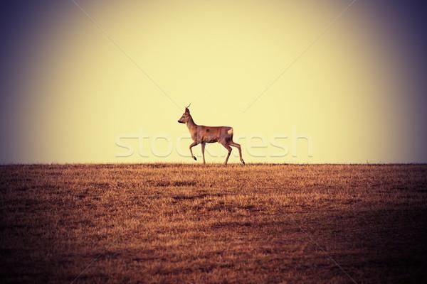 roebuck at horizon Stock photo © taviphoto