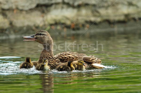 Familia estanque madre bebé naturaleza aves Foto stock © taviphoto
