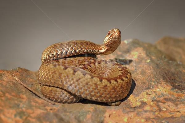 crossed viper on stone Stock photo © taviphoto