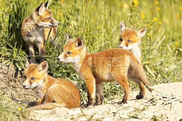 かわいい 赤 キツネ 自然 環境 ストックフォト © taviphoto