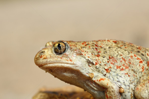 macro image of common spadefoot toad Stock photo © taviphoto