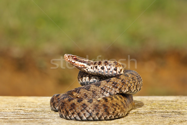 common adder on wooden board Stock photo © taviphoto