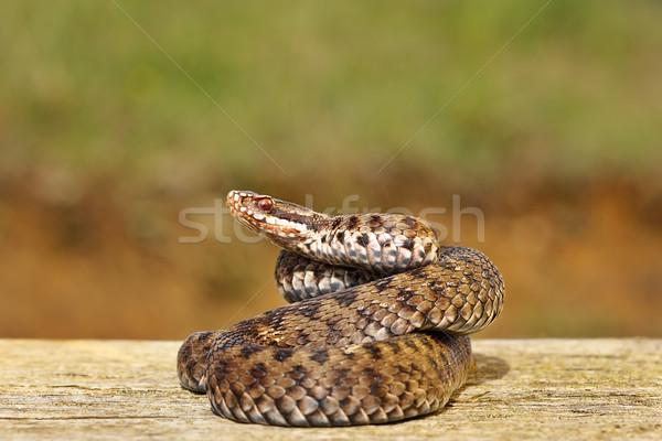 Européenne serpent bord belle échelles Photo stock © taviphoto