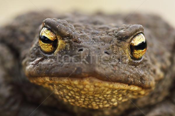 macro image of Bufo bufo head Stock photo © taviphoto