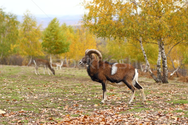 mouflon in fall season Stock photo © taviphoto