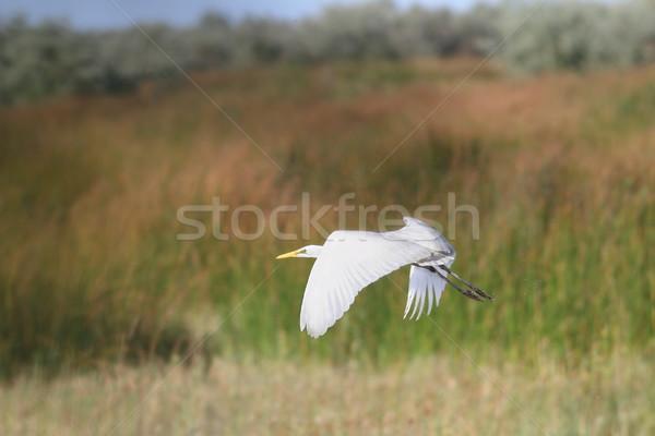 белый цапля полет Flying болото Дунай Сток-фото © taviphoto