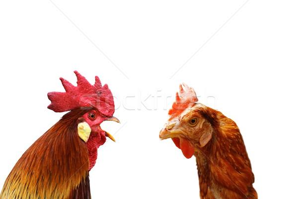 Család kettő izolált madarak kakas tyúk Stock fotó © taviphoto