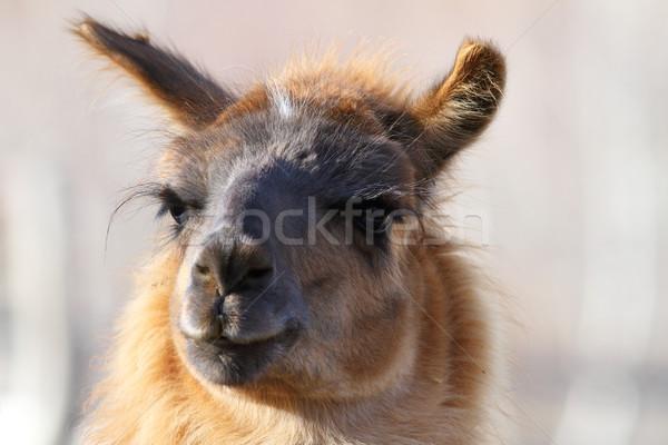 Néz kamera láma kép háziasított állat Stock fotó © taviphoto