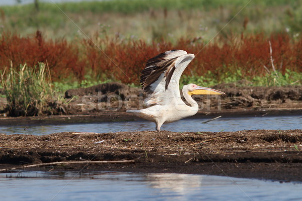 great pelican taking off from swamp Stock photo © taviphoto
