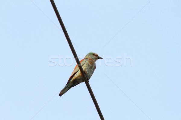 european roller on electric wire Stock photo © taviphoto