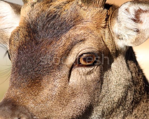 closeup of fallow deer face Stock photo © taviphoto