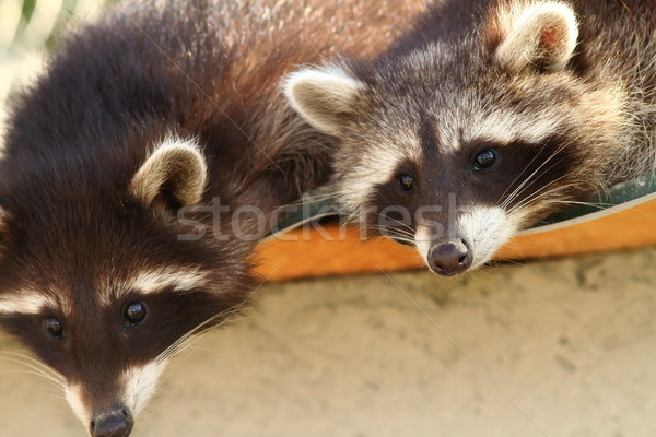raccoons at the zoo Stock photo © taviphoto
