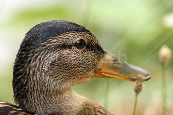 closeup on head of a female mallard Stock photo © taviphoto