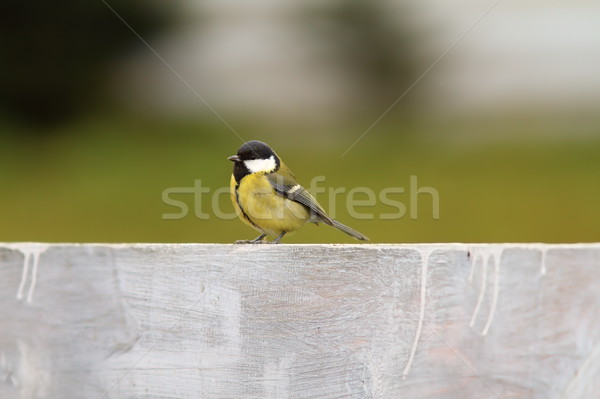 great tit on the fence Stock photo © taviphoto