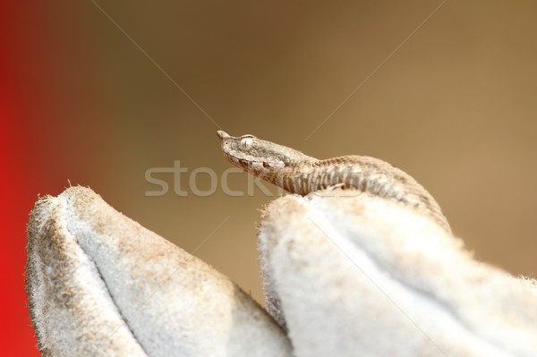 nose horned viper on a glove Stock photo © taviphoto