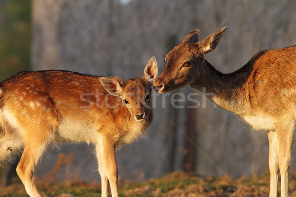 fallow deer doe and her baby Stock photo © taviphoto