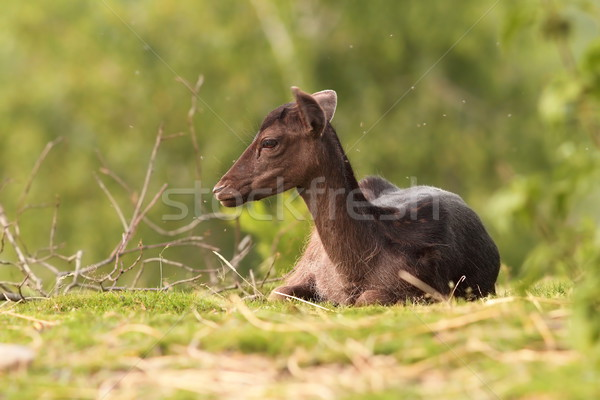 Stock photo: dark fallow deer calf