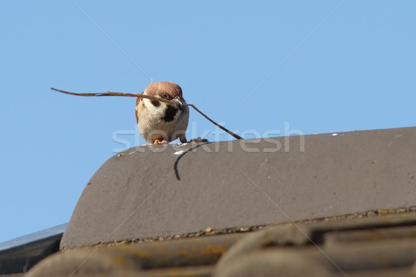male house sparrow collecting material for nesting Stock photo © taviphoto