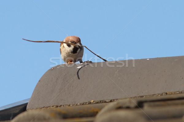 Maschio casa passero raccolta materiale cielo Foto d'archivio © taviphoto