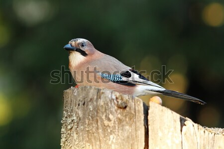 european common jay on wood stump Stock photo © taviphoto
