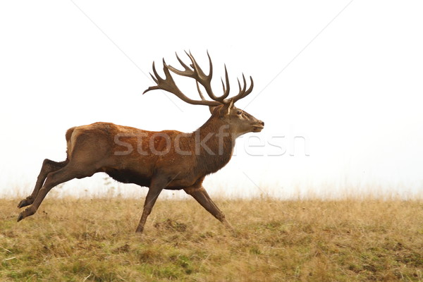 beautiful red deer stag running Stock photo © taviphoto