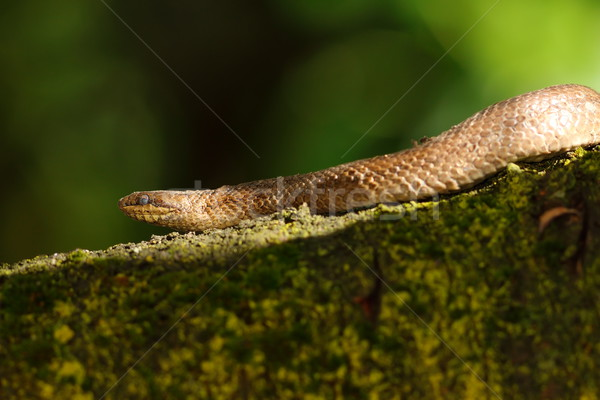 smooth snake on branch Stock photo © taviphoto