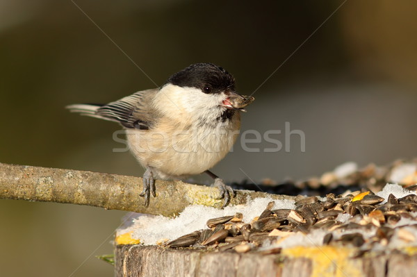 hungry coal tit at garden bird feeder Stock photo © taviphoto