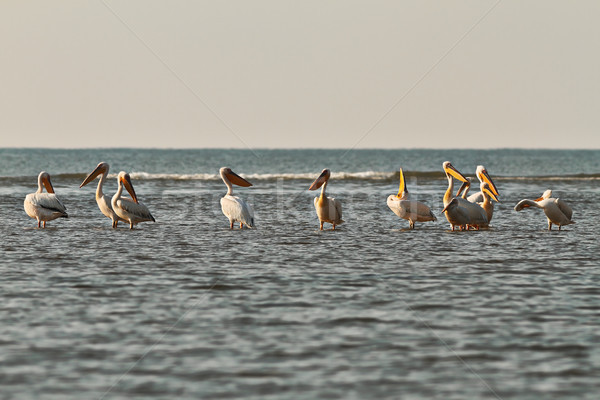 flock of great pelicans in shallow water Stock photo © taviphoto