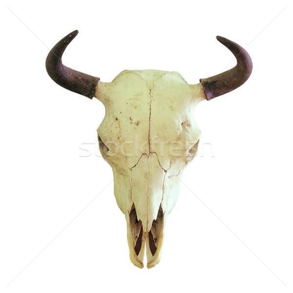 isolated skull of european bison Stock photo © taviphoto