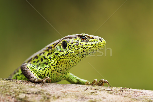 curious sand lizard on a wooden stump Stock photo © taviphoto